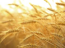 السعودية تسعى لشراء القمح من الخارج