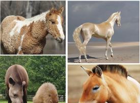 شاهد أغرب فصائل الخيول في العالم