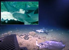 شاهد هامور  عملاق يلتهم سمكة قرش في لقطات لمركز أبحاث أمريكي