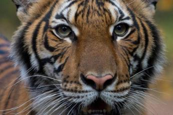 إصابة نمر في حديقة حيوان في نيويورك بفيروس كورونا المستجد