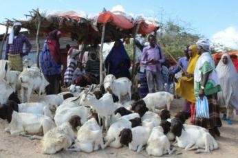 تقليص الحج يضرب قطاع تصدير الماشية الصومالي