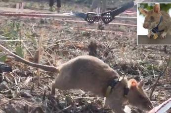 شاهد أول حيوان ينال أعلى تكريم ووسام ذهبي لإنقاذه حياة الآلاف في كمبوديا