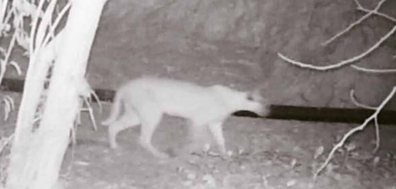 بالصور : رصد حيوان لم يشاهَد في أبوظبي منذ 35 عاما