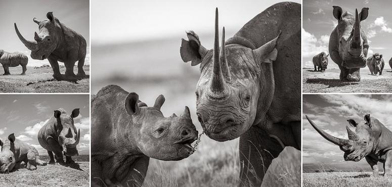 صور مذهلة تظهر وحيد القرن في السافانا الأفريقية