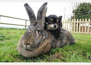 أكبر أرنب في العالم