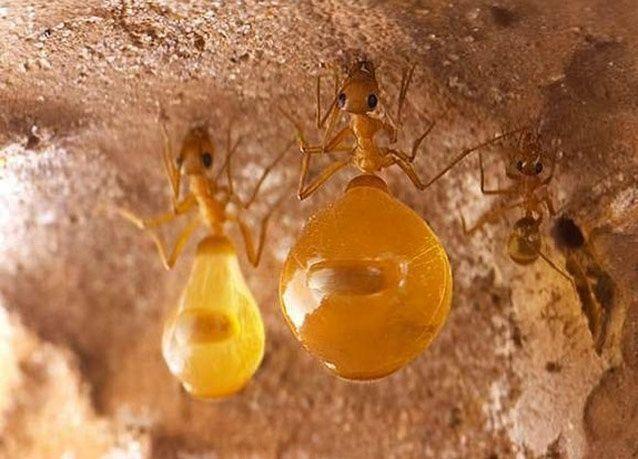 """صور مميزة لنملة """"وعاء العسل"""" المضحية"""