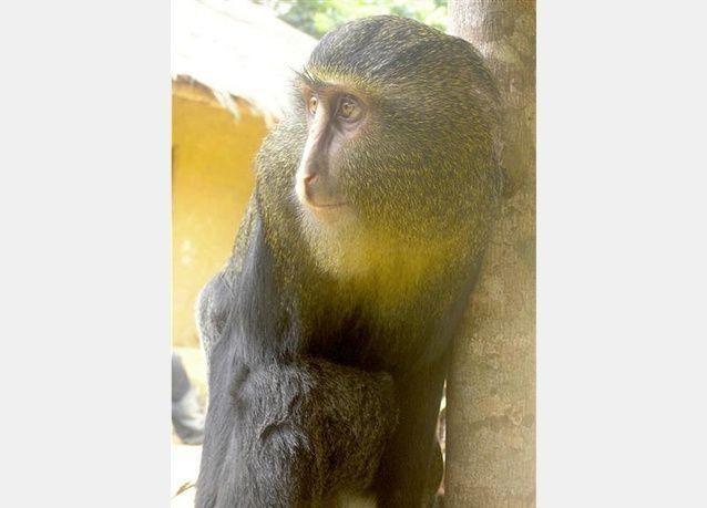 بالصور:  اكتشاف نوع جديد من القرود في أفريقيا