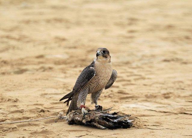 صور من فعاليات مهرجان الصيد بالصقور في أبوظبي