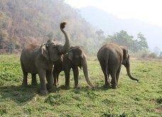أغلى قهوة في العالم ...من فضلات الفيلة!