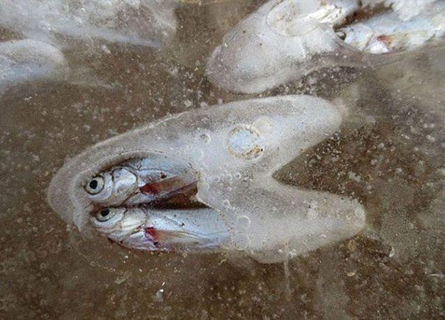 بالصور: نفوق آلاف الأسماك الصغيرة في مياه متجمدة في الصين