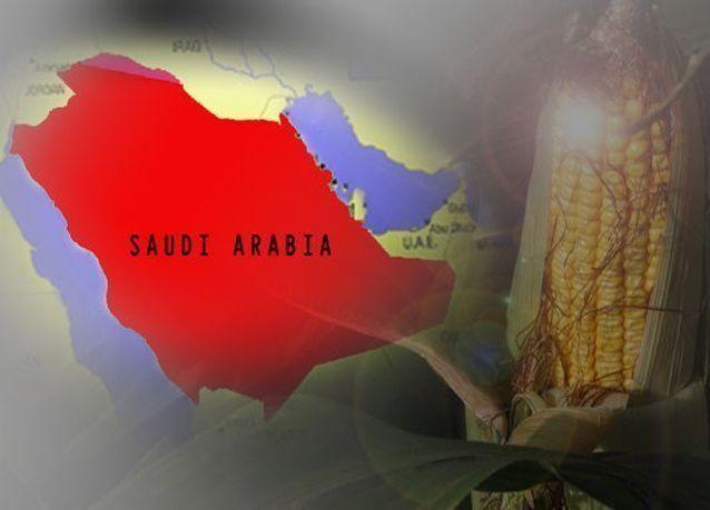 انتشار ذُرة معدّلة وراثياً وملوّثة في السعودية