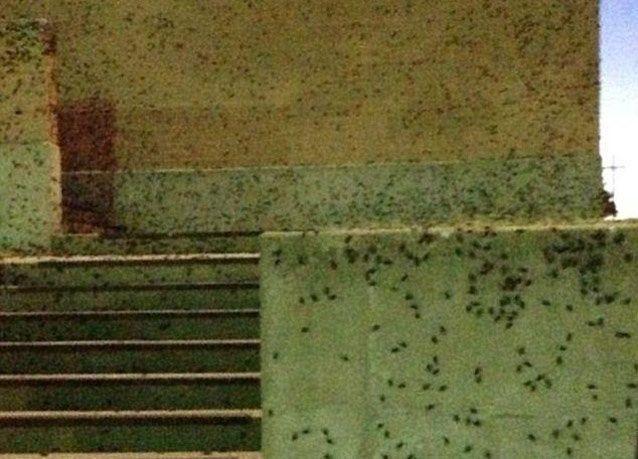 """بالصور: حشرات """"الكريكيت"""" آكلة اللحوم تغزو ولاية أوكلاهوما الأمريكية"""