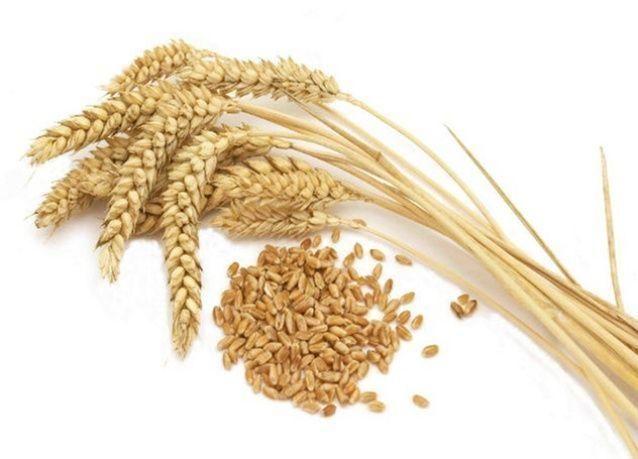 السعودية: إنخفاض إنتاج الحبوب بنسبة 23 في المائة