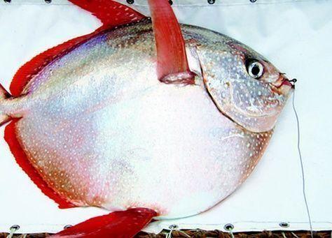 بالصور: اكتشف سر أول سمكة ذات دم حار