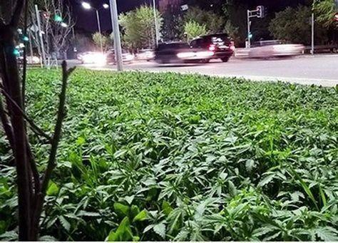 كازاخستان تزرع الماريجوانا بالخطأ في شوارع العاصمة
