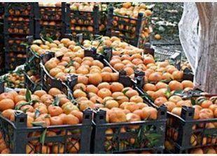 للتعويض عن مقاطعة المنتجات التركية، سوريا تستعد لارسال 700 الف طن من الحمضيات الى روسيا
