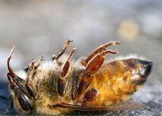 سم النحل يصبح أغلى من الذهب بسبع مرات لأغراض التجميل