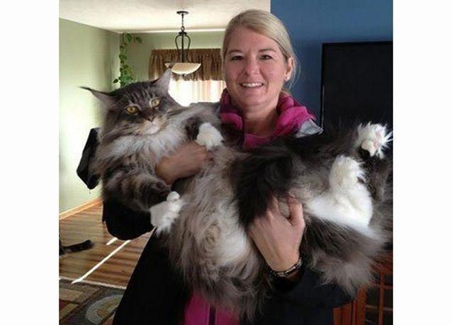 بالصور : أكبر وأضخم 10 قطط في العالم