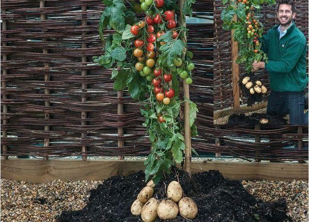 إطلاق طمطاطو ، نبتة تنتج البطاطس والطماطم معا في بريطانيا