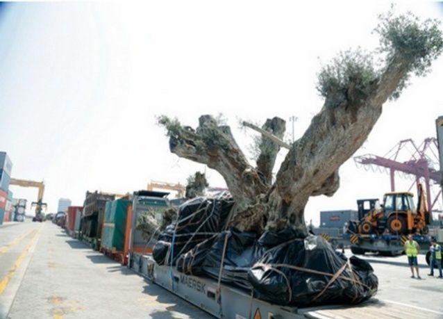 نقل 58 شجرة زيتون عمرها 1400 سنة من أوروبا إلى دبي