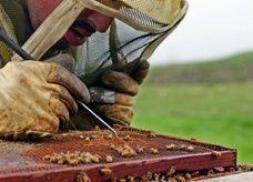 أول دراسة تكشف أسباب موت النحل بأعداد كبيرة