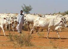 408 مليون دولار قيمة صادرات الماشية السودانية بنهاية نوفمبر