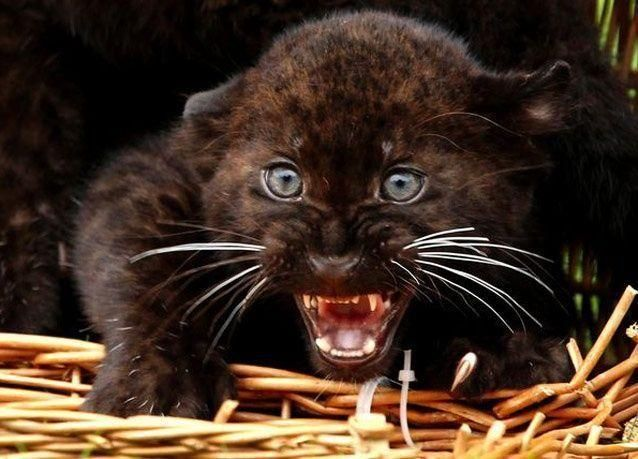 بالصور: ولادة توأم من النمور في حديقة حيوان برلين