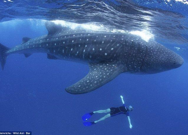 صور تخطف الأنفاس من تحت الماء لقرش الحوت العملاق المهدد بالانقراض