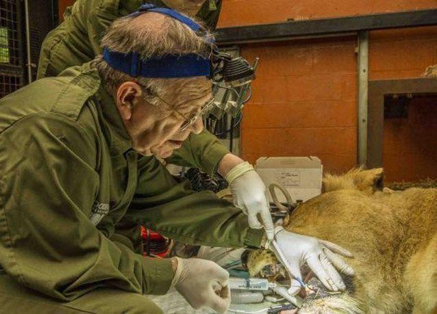 بالصور: أسد يخضع لعملية معقدة في أسنانه