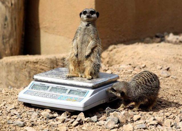 بالصور: عمال حديقة الحيوان في لندن يقيسون أوزان الحيوانات