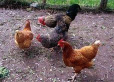 شجارها مع دجاجاتها أصابها بأزمة قلبية
