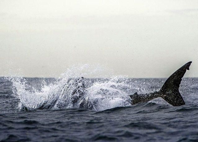 صور مميزة لسمكة قرش ضخمة تتعرض للخداع بحصان بحر بلاستيكي