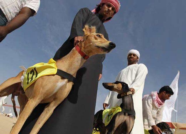 صور من سباق السلوقي العربي في مهرجان الظفرة في الإمارات