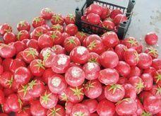 طماطم إسرائيلية مسرطنة تغزو الكويت