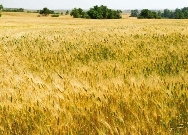 ظاهرة النينيو تستمر حتى نهاية 2015، وتأثير قوي سيرفع أسعار القمح والسكر