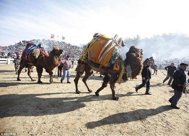 بالصور: مهرجان مصارعة الإبل في تركيا