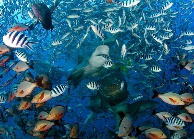 بالصور: الغوص مع أسماك القرش في جزر فيجي