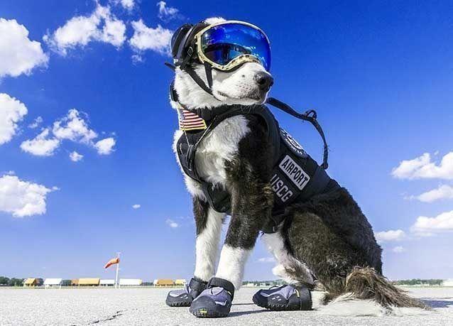 بالصور : كلب يعمل موظفاً بمطار ميشيغان .. في إجازة مرضية