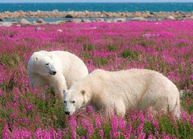 بالصور: دببة قطبية في حقول الأزهار الوردية بـ كندا