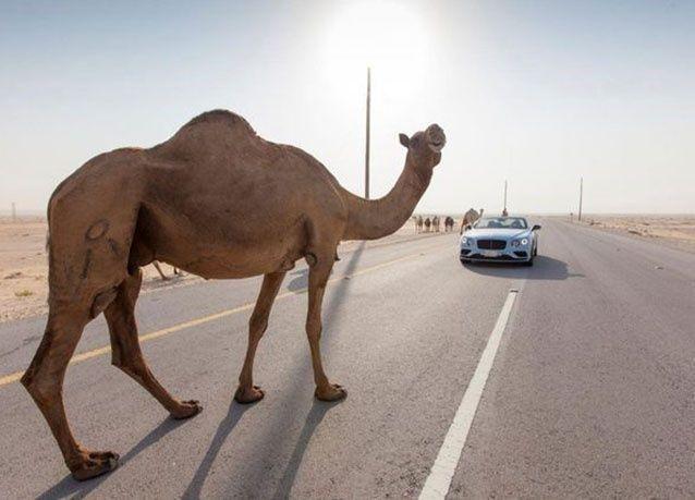 بالصور : سيارة بنتلي تسابق قطار الصحراء في السعودية