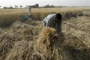 العراق يخطط لزراعة حبوب جديدة مقاومة للجفاف والملوحة