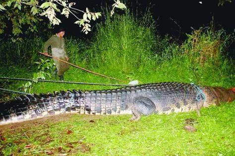 صور أضخم تمساح في العالم