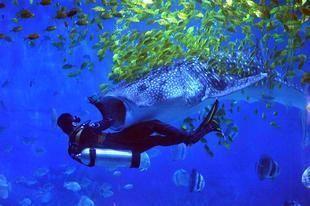 """بالصور: غواص صيني يسبح مع أسماك """"قرش الحوت"""""""