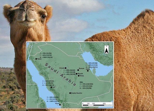 فيروس كورونا موجود بـ74 % من الجِمال بالمملكة العربية السعودية