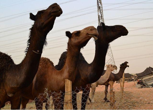 السعودية تعلن نهائياً: الإبل هي المصدر الأساسي لانتقال فيروس كورونا المميت