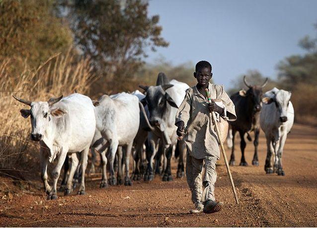 مصر: استيراد 800 ألف رأس ماشية من السودان بقيمة 1.3 مليار جنيه