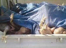 دجاج ميت يباع في أسواق سعودية