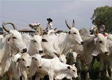 بسبب جنون البقر.. السعودية تعلق استيراد لحوم الأبقار من البرازيل