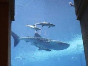 دعوات لإعدام أسماك القرش في غرب أستراليا