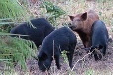 سورية تصادق على ذبح الخنازير الموجودة في البلاد